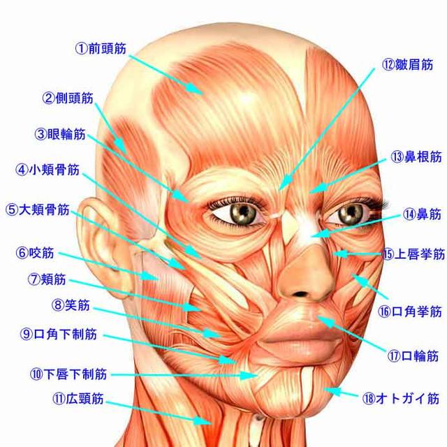 「顔の筋肉」の画像検索結果